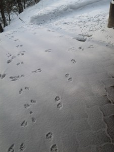 Animal tracks in the snow - on hiatus