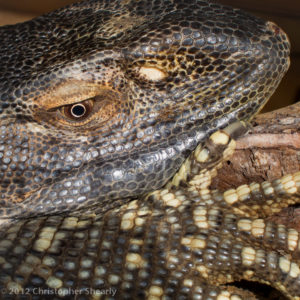 face and body of a dark reptile with yellow markings